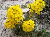 Erysimum menziesii ssp. menziesii