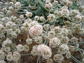Seaside Buckwheat