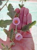 Sphaeralcea ambigua ssp. violacea