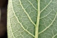 Salix delnortensis