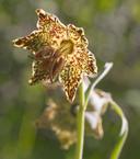 Fritillaria pinetorum