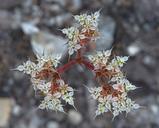 Chorizanthe diffusa