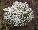 Leptosiphon floribundus ssp. glaber