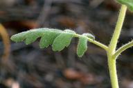 Phacelia ramosissima