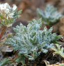 Ipomopsis congesta ssp. montana