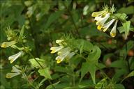 Melampyrum pratense ssp. paradoxum