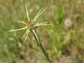 Centaurea solstitialis