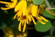 Lotus nevadensis