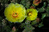 Little Pricklypear
