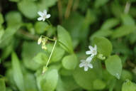 Claytonia palustris
