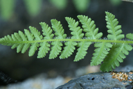 Woodsia scopulina