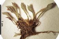 Ancistrocarphus keilii