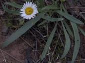 Erigeron eatonii var. plantagineus