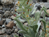 Cryptantha humilis