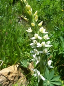 Platanthera dilatata