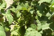 Vitis vinifera