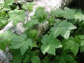 Ribes laxiflorum