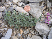 Oxytropis oreophila var. oreophila
