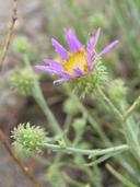 Dieteria canescens var. ziegleri