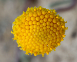 Sphaeromeria potentilloides var. nitrophila