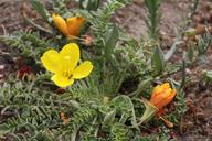 Camissonia tanacetifolia ssp. quadriperforata