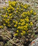 Draba densifolia