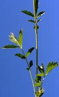 Drymocallis glandulosa