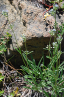 Frasera albicaulis var. nitida