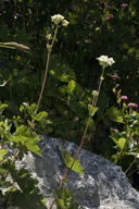 Hemieva ranunculifolia