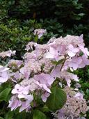 Hydrangea macrophylla ssp. serrata