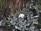 Antennaria lanata