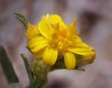 Gutierrezia sarothrae