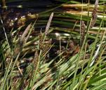Carex lenticularis var. lipocarpa
