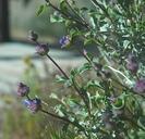 Salvia dorrii var. pilosa