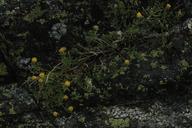 Erigeron reductus var. reductus