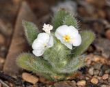 Plagiobothrys kingii