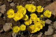 Ranunculus eschscholtzii var. suksdorfii