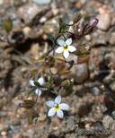 Nemacladus longiflorus var. breviflorus