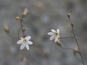 Nemacladus secundiflorus var. secundiflorus