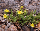Ivesia shockleyi