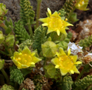 Ivesia shockleyi var. shockleyi