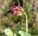 Trifolium gracilentum