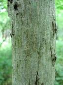 Carya cordiformis