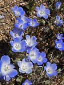 Nemophila menziesii var. integrifolia