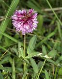Trifolium beckwithii