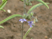 Trichostema lanceolatum