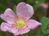 Rosa woodsii ssp. ultramontana