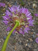 Allium lemmonii