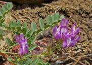 Astragalus iodanthus