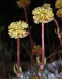 Eriogonum douglasii var. douglasii